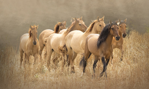 Chief and mares. Sulphur Springs herd at RTF by Kate Lloyd