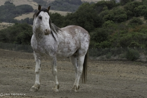 Mist, Calico Stallion. Photo: Meg Frederick