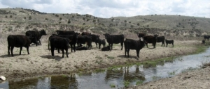 Cattle-water_Bryce-Gray-620x264-1