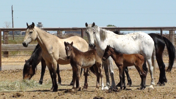Grace (Buckskin mare), with colt Haiku with Cali ( Braveheart's mare and filly Amber) in holding corral.