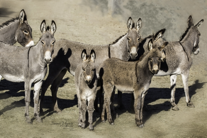 Black Mountain Burros at Return to Freedom. Photo: Irene Vejar