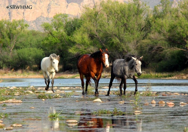 Salt River Wild Horses. Photo: Courtesy of SRWHMG