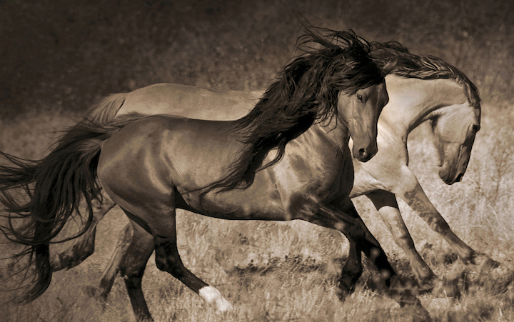 Chief, Sulphur Springs stallion at Return to Freedom's Wild Horse Sanctuary. Photo: Lisa Dearing