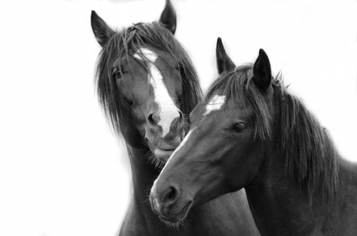 Cerbat Spanish Mustang stallion with his son at Return to Freedom's American Wild Horse sanctuary. Photo: Tony Stromberg