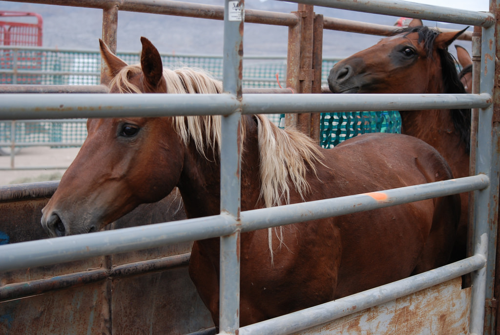 Photo by Bureau of Land Management - Utah A wild horse that has just been captured in a BLM round-up. The majority of captured equines remain stuck for years, if not for the rest of their lives, in cramped holding facilities that are quickly running out of space.