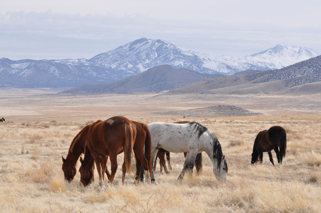 Photo by Bureau of Land Management - Utah Over the past four decades the BLM has eradicated or moved to holding facilities more than 70 percent of the country's wild horse population.
