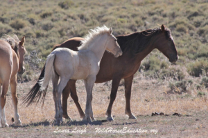 Sarge's lead mare and colt, home on the range, 2015. Photo CreditL Laura Leigh/Wild Horse Education