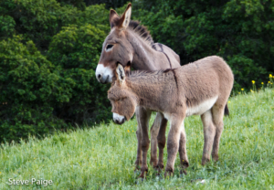 Black Mountain Burro mother and foal at the sanctuary