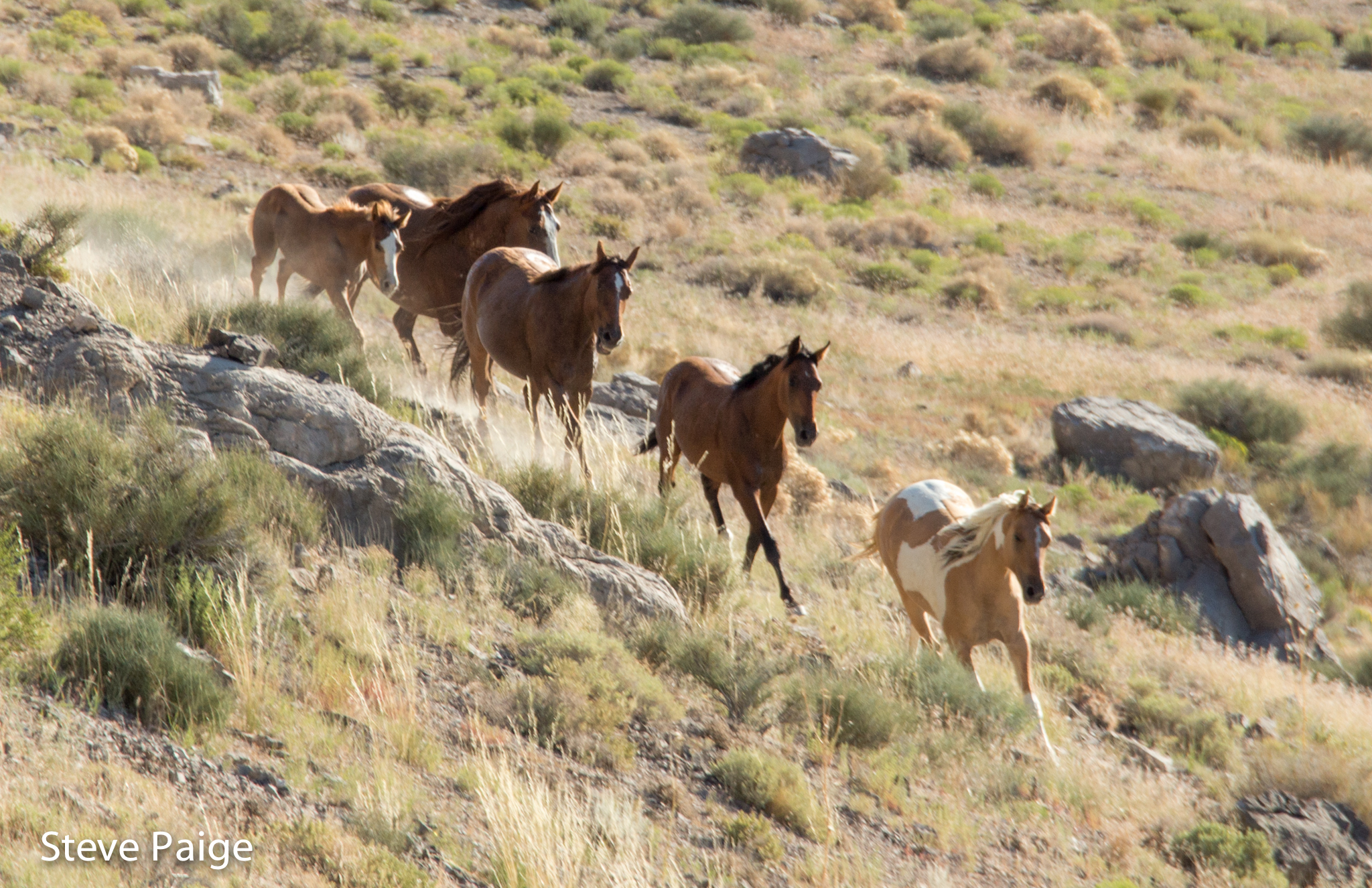 This family band was captured,  separated and transported during the Conger Herd Management Area roundup in July.  Photo by Steve Paige.
