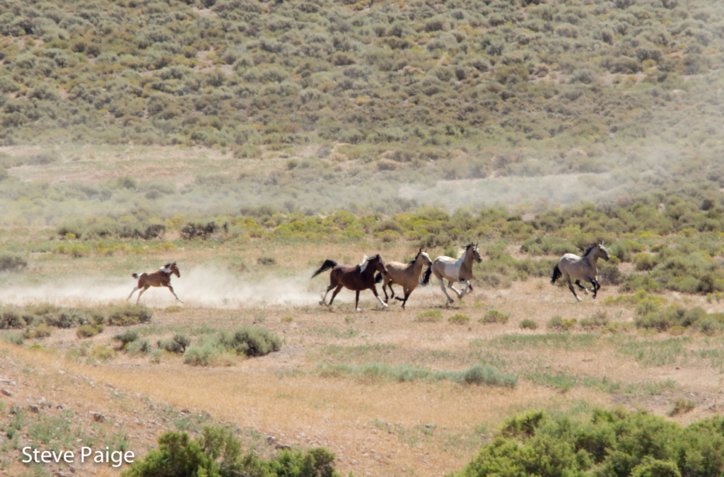 July 11, Frisco HMA. Young foals struggling to stay with their herd as they run in panic.