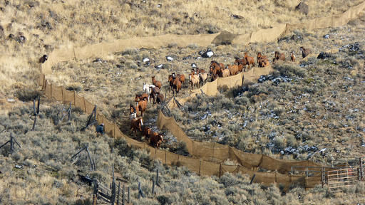 Wild horses are rounded up in Oregon in this Bureau of Land Management file photo.