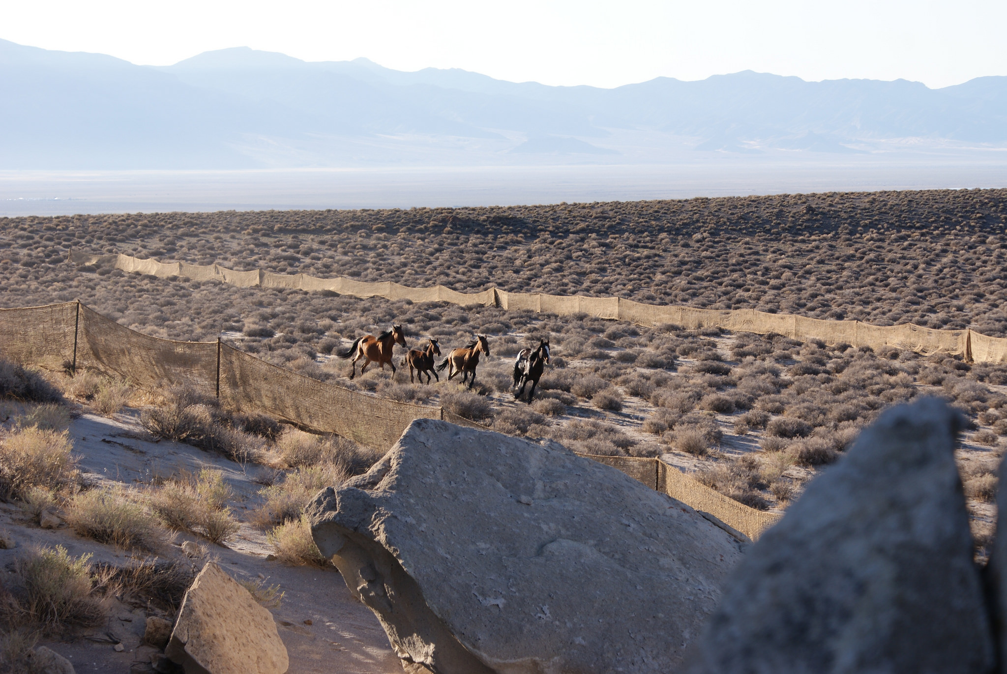 Pancake Complex horses rounded up in 2012. BLM Nevada photo..
