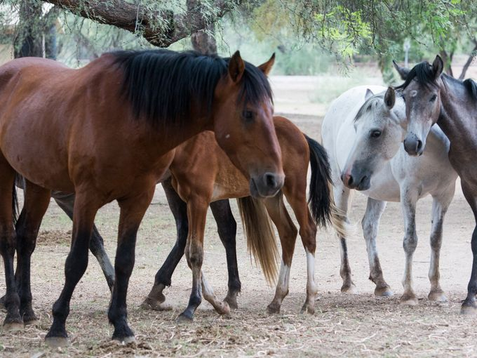 Salt River horses grazing in Tonto National Forest, near Mesa, Ariz., in August. Photo by Isaac Hale, The Arizona Republic