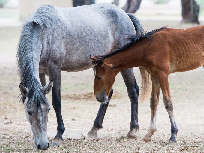 A Salt River horse and foal graze in Tonto National Forest in August. Isaac Hale / The Arizona Republic file photo