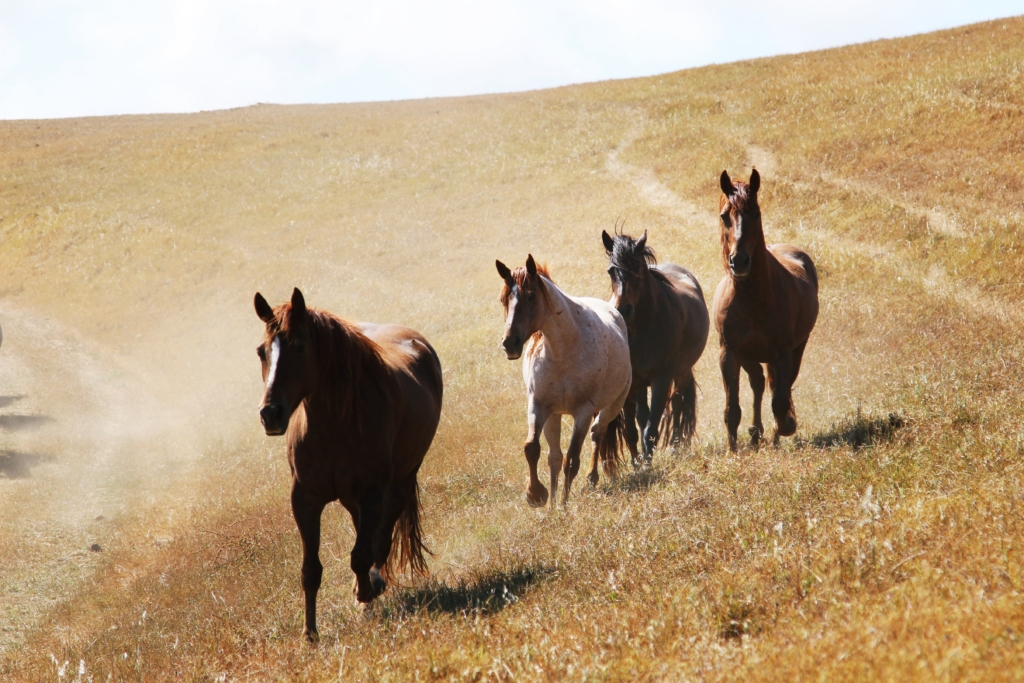 Healthy wild horses at Return to Freedom's American Wild Horse Sanctuary. Photo by Josephine Blossfeld.