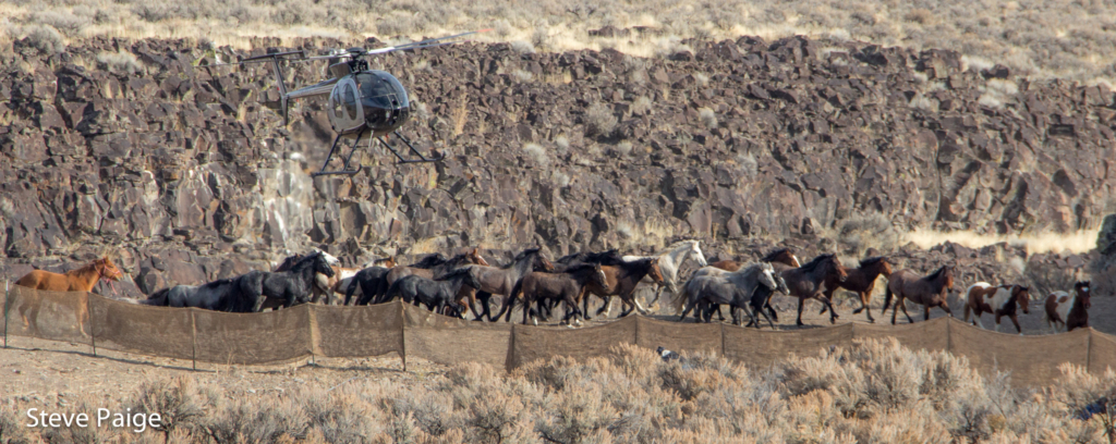 A helicopter pursues wild horses during the recent Owyhee Complex roundup in Nevada. RTF file photo by Steve Paige.