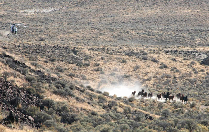 A helicopter roundup in Nevada. BLM file photo.