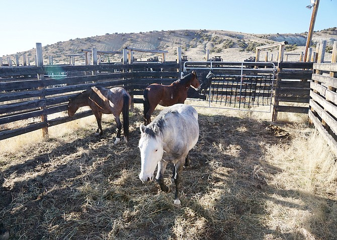 Wild horses removed from traps baited with hay wait in BLM corrals at Sand Wash Basin for sorting, treatment and release or removal. Photo by Sasha Nelson, Craig Daily Press.