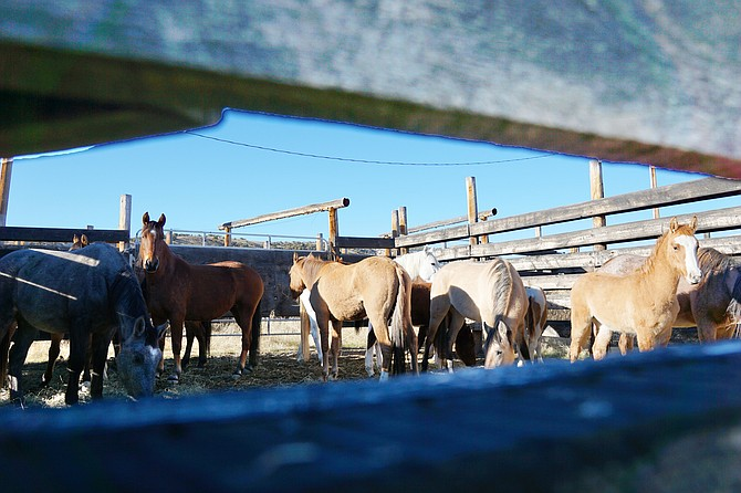 The Bureau of Land Management holds wild horses in a permanent corral at Sand Wash Basin in mid November. The mares that were captured were given birth control and released back into the basin. The young horses were removed from Sand Wash and will be up for adoption next year. Craig Daily Press photo.