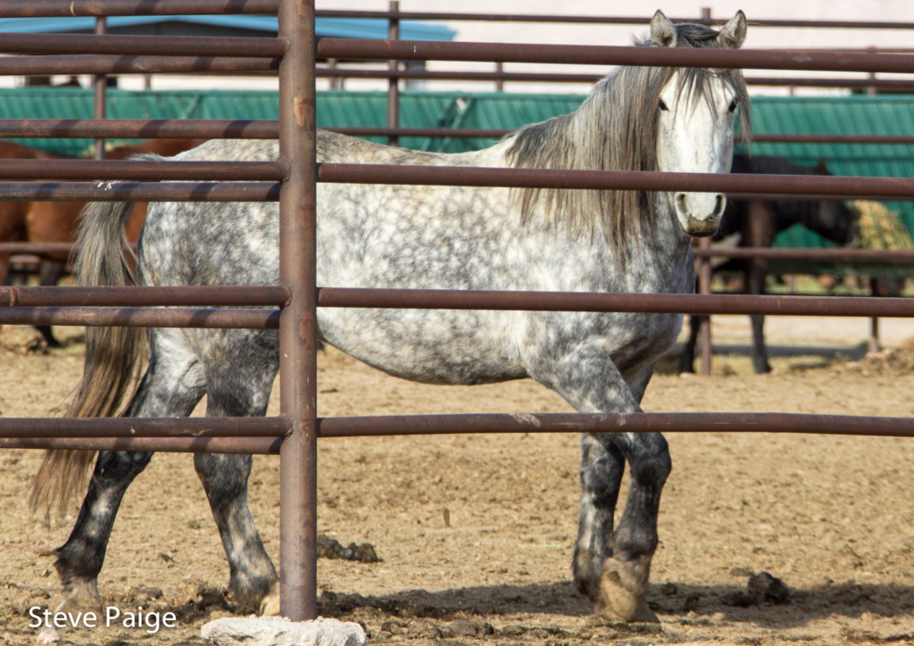 One of more than 1,400 wild horses captured during the recent Owyhee helicopter roundup. All photos by Steve Paige.