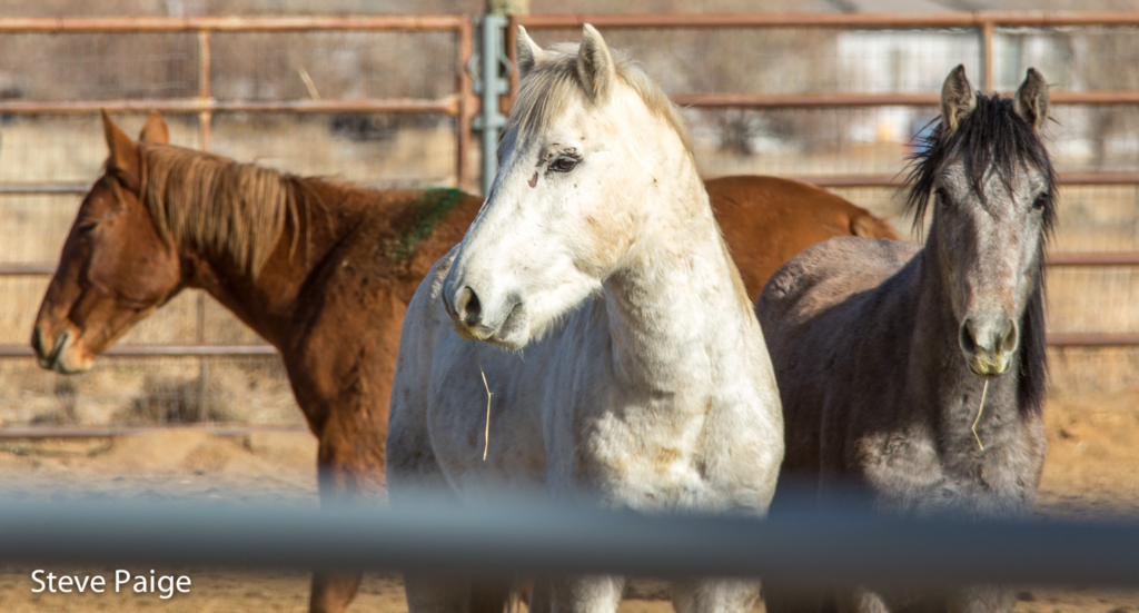 Wild horses captured during the recent Bureau of Land Management roundup in Nevada's Owyhee Complex. File photo by Steve Paige for RTF.