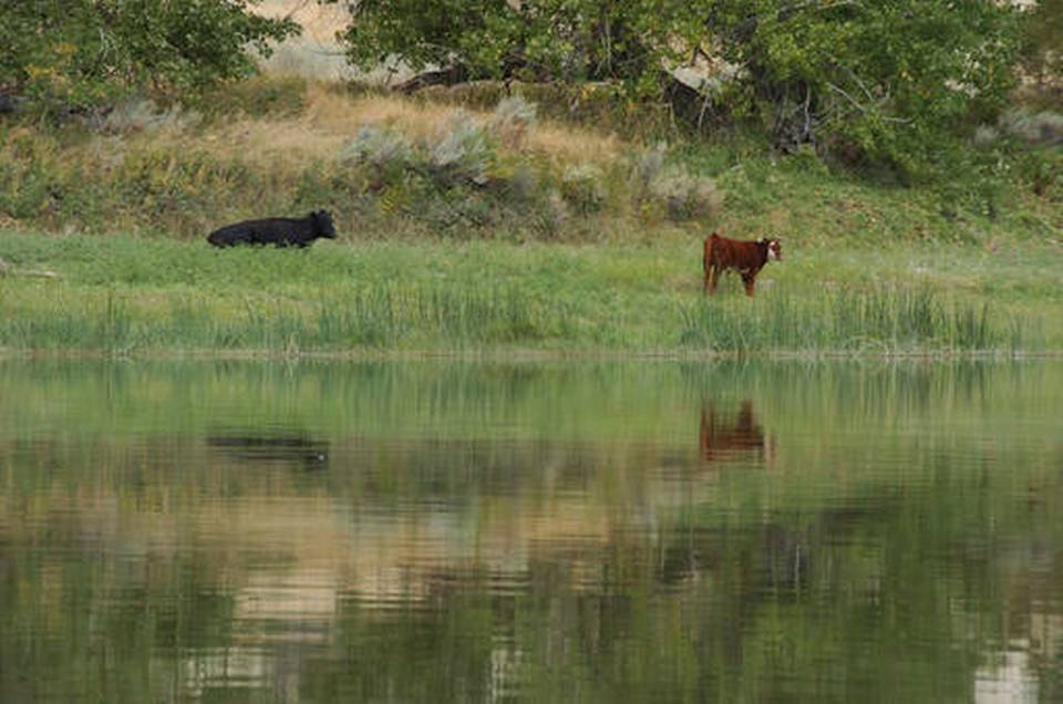 Cattle graze along a section of the Missouri River that includes the Upper Missouri River Breaks National Monument near Fort Benton, Mont. U.S. government officials on Thursday finalized an overhaul of how they plan for oil and gas drilling, mining, grazing and other activities across public lands in the West. AP file photo.