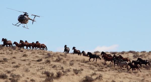 A contractor's helicopter pursues wild horses on Friday. All photos by Steve Paige.