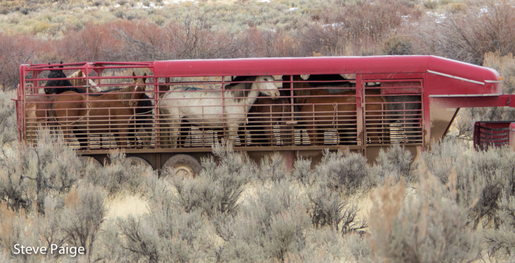 Wild horses are transported Thursday from temporary holding to a release site. All photos and video by Steve Paige.