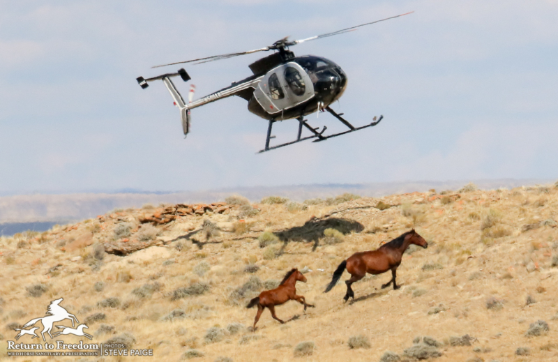Fox & Lake Range roundup, day two: 56 Nevada wild horses captured