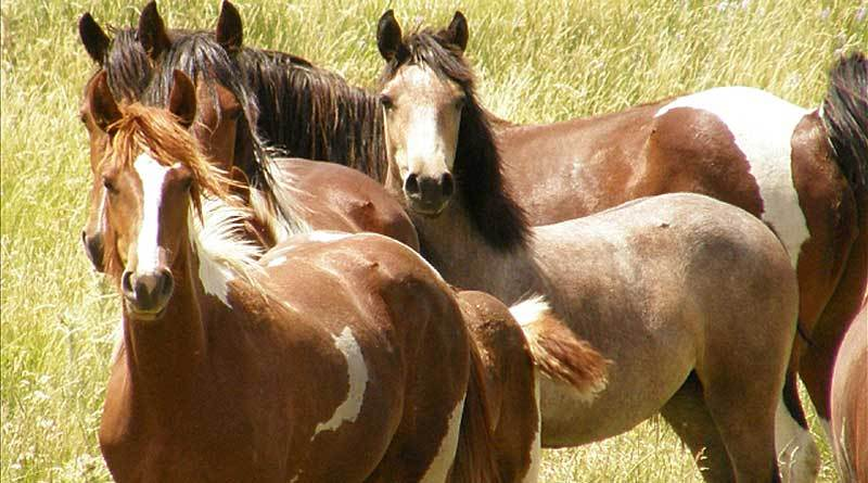 Senate committee moves to protect wild horses